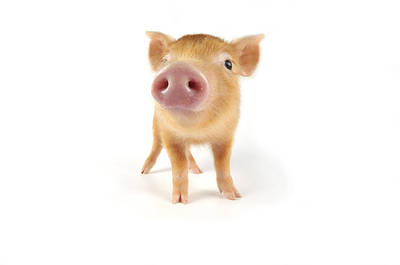 Angle Fishes Photograph - Tamworth Piglet by John Daniels