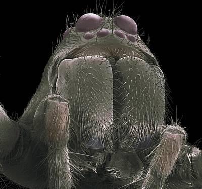 Tarantula Spider, Sem Art Print by Science Photo Library