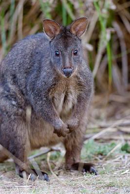 Marsupial Photograph - Tasmanian Pademelon (thylogale by Martin Zwick
