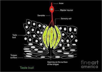 Bipolar Photograph - Taste Bud Anatomy, Diagram by Francis Leroy, Biocosmos