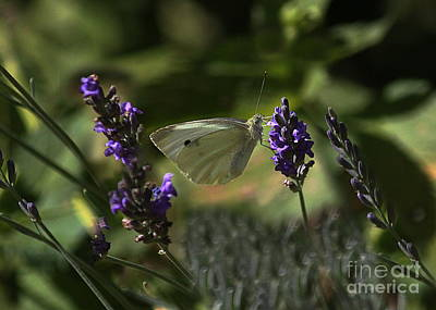 Photograph - Taste Of Lavender by Erica Hanel