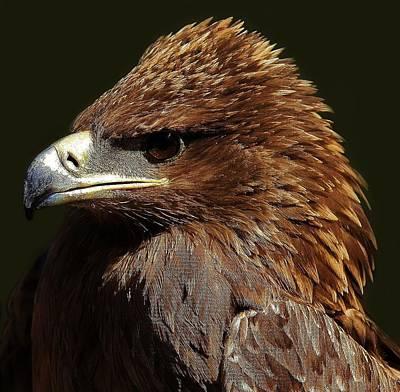 Tawny Eagle Art Print by Paulette Thomas