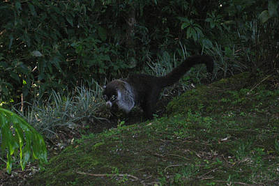 Tayra Costa Rica Animals Zoo Habitat Indigenous Population Mixing With Travellers Enjoying And Being Art Print