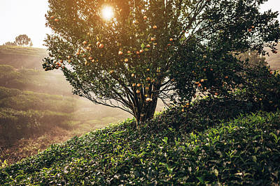 Photograph - Tea Plantation In India by Oleh slobodeniuk