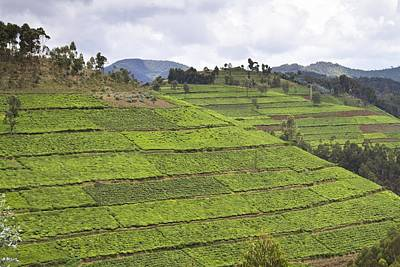 Camellia Photograph - Tea Plantation, Rwanda by Science Photo Library