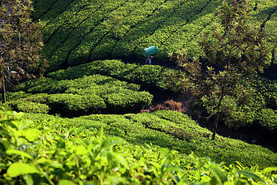 Camellia Photograph - Tea Plantations, Munnar, Western Ghats by Peter Adams