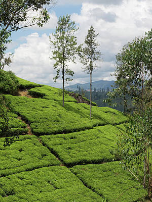 Tea Plants On Hillside Seen Print by Panoramic Images