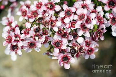 Tea Tree Flower Photograph - Tea Tree Leptospermum Scoparium by Dr. Keith Wheeler