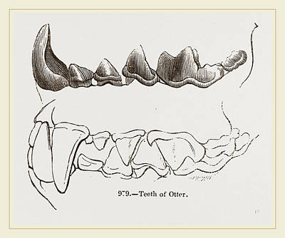 Otter Drawing - Teeth Of Otter by Litz Collection