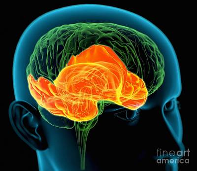 Meanings. Humans Photograph - Temporal Lobes In The Brain, Artwork by Roger Harris