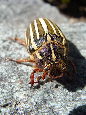Photograph - Ten Lined June Beetle by Cheryl Hoyle