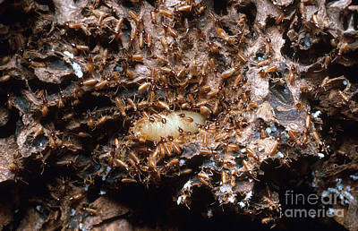 Termites Photograph - Termite Queen And Soldiers by Gregory G. Dimijian, M.D.