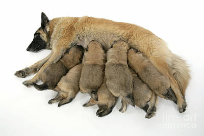 Pet Care Photograph - Tervuren Mother And Puppies by John Daniels