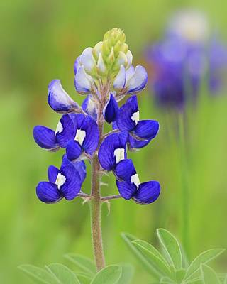 Photograph - Texas Bluebonnet by Elizabeth Budd
