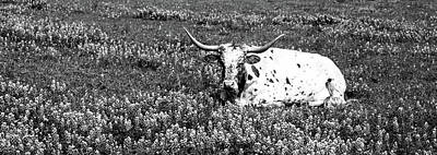 Longhorn Cattle Photograph - Texas Longhorn Cow Sitting On A Field by Panoramic Images