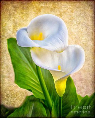 Textured Calla Lilies Art Print