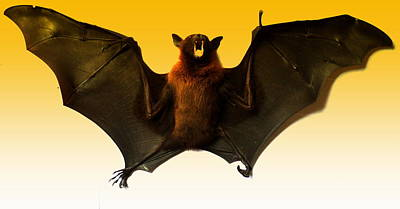 Photograph - The Bat by Salman Ravish