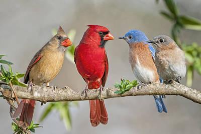 The Bluebirds Meet The Redbirds Art Print