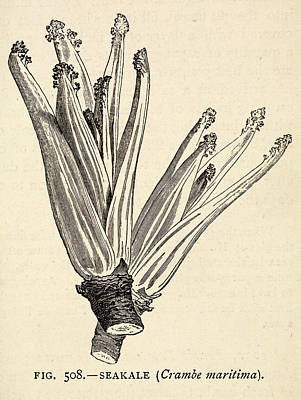 Kale Photograph - The Book Of Garden Management And Rural E by British Library