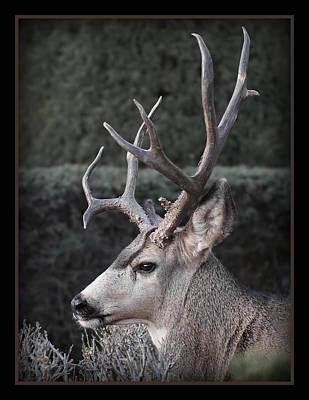 Mule Deer Buck Photograph - The Buck by Ernie Echols
