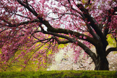 Photograph - The Cherry Tree by Jessica Jenney