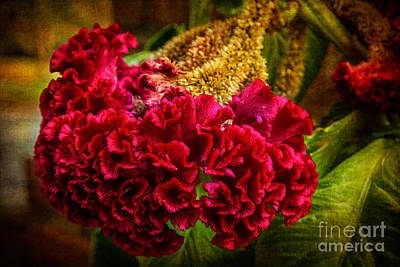 Photograph - The Coxcomb by Barbara Youngleson