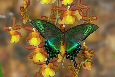 Blue Swallowtail Photograph - The Common Peacock Swallowtail by Darrell Gulin