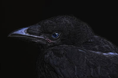 Corvidae Photograph - The Crow by Joachim G Pinkawa