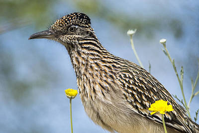 Roadrunner Photograph - The Greater Roadrunner  by Saija  Lehtonen