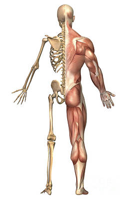 Tendon Digital Art - The Human Skeleton And Muscular System by Stocktrek Images