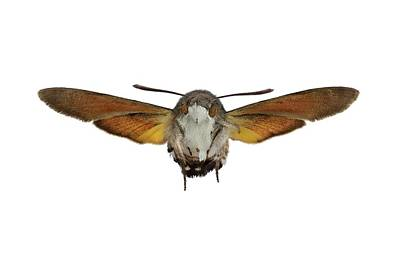 Butterfly In Flight Photograph - The Hummingbird Hawk-moth by F. Martinez Clavel