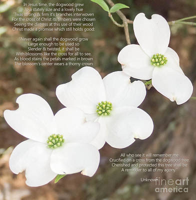 Photograph - The Legend Of The Dogwood 2 by Andrea Anderegg