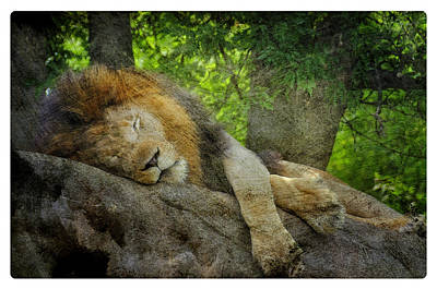 Photograph - The Lion Sleeps  by Davina Washington