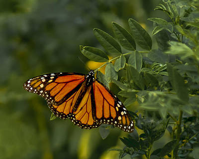 The Monarch Art Print by Ernie Echols