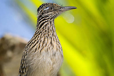 Roadrunner Photograph - The Roadrunner  by Saija  Lehtonen