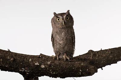 Pygmy Owl Wall Art - Photograph - The Tamaulipas Pygmy Owl Glaucidium by Fredo De Luna