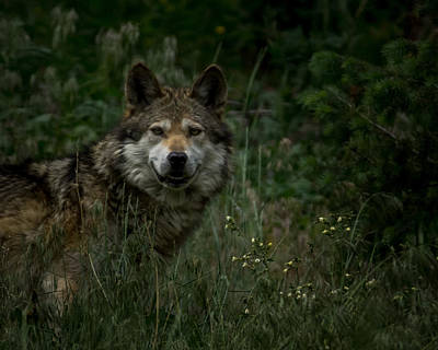 Mexican Wolf Photograph - The Wolf by Ernie Echols