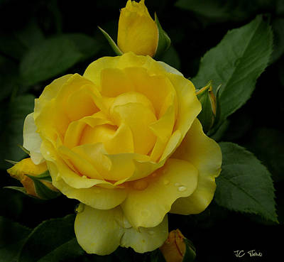 Photograph -  Yellow  Rose Of Summer by James C Thomas