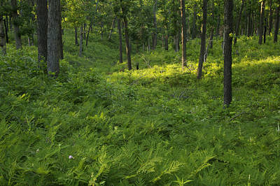 Photograph - Thick Ferned Woodland by Byron Jorjorian