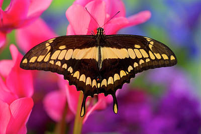 Blue Swallowtail Photograph - Thoas Swallowtail Butterfly, Papilio by Darrell Gulin