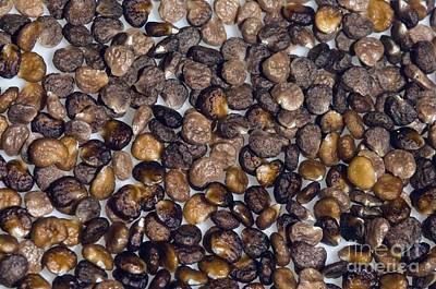 Jimson Photograph - Thorn Apple Datura Stramonium Seeds by Georgette Douwma