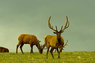 Grazing Elk Photograph - Three Bull Elk Grazing by Jeff Swan