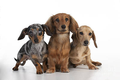 Three Dachshunds Art Print