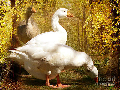 Print featuring the photograph Three Geese A Grazing by Chris Armytage