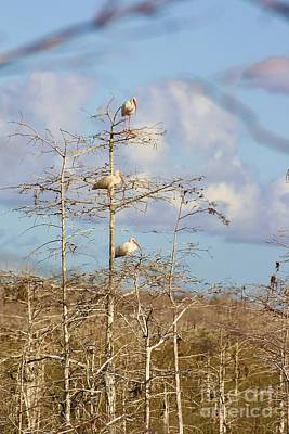 Everglades Photograph - Three In A Tree by Chuck  Hicks