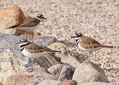 Photograph - Three Killdeer On Rocks by Lula Adams