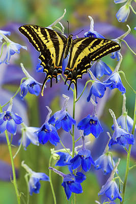Tiger Swallowtail Photograph - Three-tailed Tiger Swallowtail by Darrell Gulin
