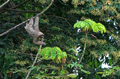 Caribe Photograph - Three-toed Sloth (bradypus Variegatus by Andres Morya Hinojosa