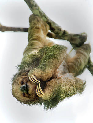 Three-toed Sloth, Sarapiqui, Costa Rica Art Print