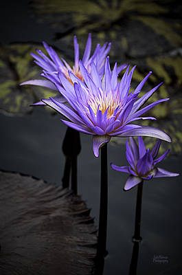 Photograph - Three Water Lilies by Julie Palencia